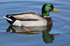 Duck swimming. In the water stock images