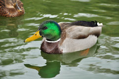 He-duck swimming Stock Photography