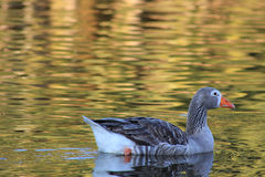 Duck Swimming Royaltyfri Bild
