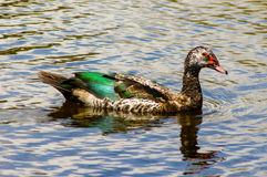 Duck Swimming stockbilder