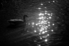 Duck Swimming lizenzfreies stockfoto