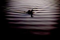 Duck Swimming fotografering för bildbyråer