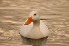 Duck swimming. A shot of a swimming duck reflected on the golden pink lake water Royalty Free Stock Photos