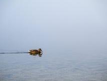 Duck Swimming imagenes de archivo