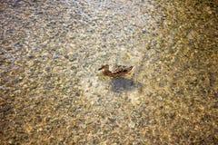 Duck Swimming fotografia stock libera da diritti