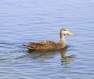 Duck Swimming Royalty-vrije Stock Afbeeldingen