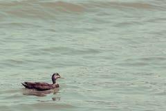 Duck Swimming fotografie stock