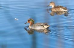 Duck Swimming Imagens de Stock Royalty Free