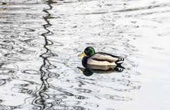 Duck Swimming Arkivfoton