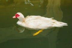 Duck Swimming Foto de Stock Royalty Free