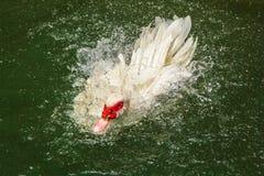 Duck Swimming Stockbild