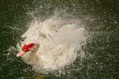 Duck Swimming Imagens de Stock