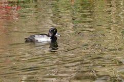 Duck Swimming Across Anello-con il collo l'acqua Fotografie Stock
