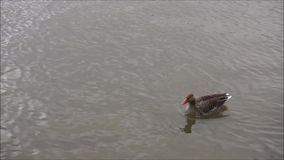 Duck swimming alone. In a river with small waves stock footage