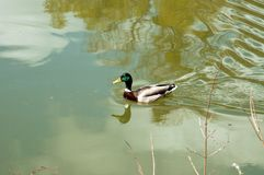 Wild duck swimming in the park. A duck swimming along on a pond Royalty Free Stock Photography