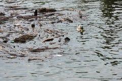 Duck Swimming Amongst Trash im Wasser Stockfoto