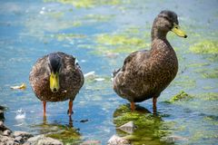 Duck Swimming In Gravel Pit stock photography