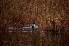 Duck Swimming attraverso erba alta fotografie stock