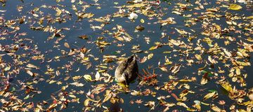 A duck swimming on autumn pond stock image