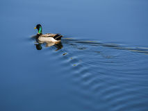 Duck swimming away. Creating gentle ripples Royalty Free Stock Image