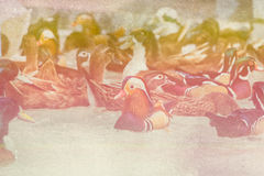 Duck Swimming, Bird, Duck, Bird on Water. Green Water, Male Mandarin Duck, made with color filters,blurred focus stock images