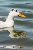 Duck Swimming blanc domestique dans l'étang Photos libres de droits