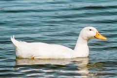 Duck Swimming blanc domestique dans l'étang Images stock