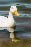 Duck Swimming blanc domestique dans l'étang Photo stock