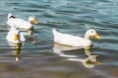 Duck Swimming blanc domestique dans l'étang Photographie stock