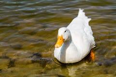 Duck Swimming blanc domestique dans l'étang Photos stock