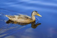 Duck swimming in the blue water Stock Images