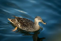 Duck Swimming Royalty Free Stock Photo