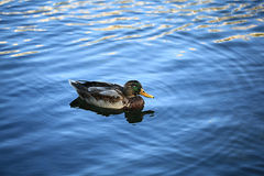 Duck swimming in blue water. Duck swimming in blue pond water Royalty Free Stock Image