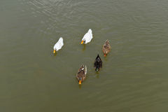 Duck Swimming Royalty Free Stock Photos