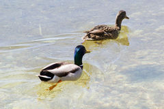 Duck swimming in clean water. Duck swimming in clean lake water Royalty Free Stock Photos