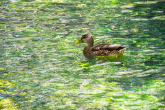 Duck swimming in clear water on Sourge river, Provence, France. Brown duck swimming in clear water on Sourge river, Provence, France Royalty Free Stock Image