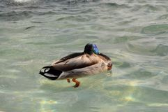 Duck swimming in crystal clear waters. Blue Mallard swimming in crystal clear waters that reflect the sun`s rays Stock Photos