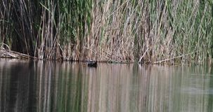 Duck Swimming dalla testa bianco sullo stagno stock footage
