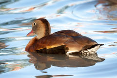 Duck Swimming di fischio nell'acqua blu Immagine Stock Libera da Diritti