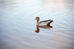 Duck Swimming di legno fotografia stock