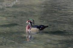 Duck Swimming di legno in lago Immagine Stock Libera da Diritti