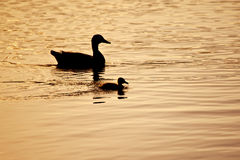 Duck swimming with duckling silhouetted against the setting sun. A mother duck swims behind her duckling on a slightly rippled water surface. The setting sun Stock Photography
