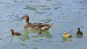 Duck swimming with ducklings. Female duck mallard Anas platyrhynchos swimming with three ducklings, whose one yellow, on a lake in Italy royalty free stock image