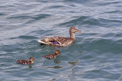 Duck swimming with ducklings. Female duck mallard Anas platyrhynchos swimming with two ducklings on a lake stock photos
