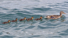 Duck swimming with ducklings Royalty Free Stock Photography