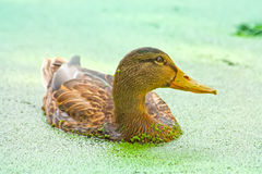 Duck Swimming With Duckweed dans l'étang Photographie stock libre de droits