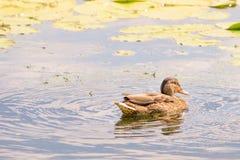 Duck Swimming femminile fotografie stock libere da diritti