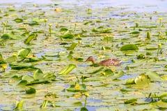 Duck Swimming femminile immagine stock libera da diritti