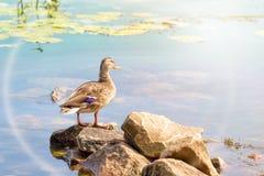 Duck Swimming femminile fotografia stock
