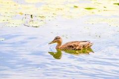 Duck Swimming femminile fotografie stock